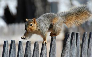 Squirrel is walking on the top of the fence.