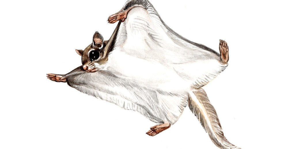 The Siberian flying squirrel on white background.