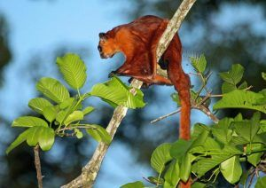 Red flying quirrel isolated on the branch.