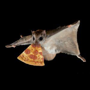 A flying squirrel gets a piece of pizza in mouth in dark.