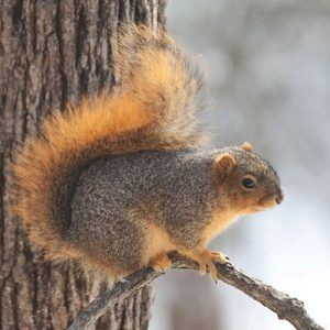 Single fox squirrel on a baranch.