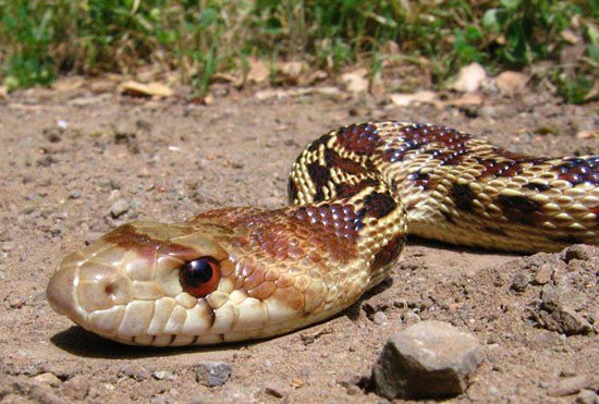 Shocking Gopher Snake Facts You Never Knew - Pest Wiki