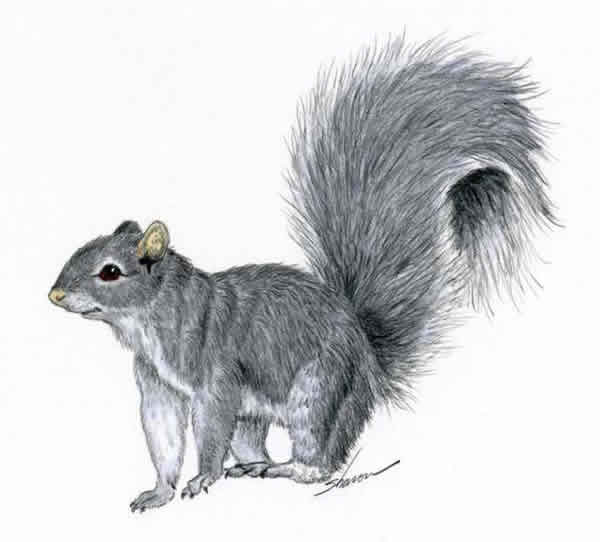 Gray squirrel PestWiki