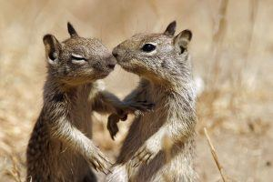 Two squirrels are kissing in nature.