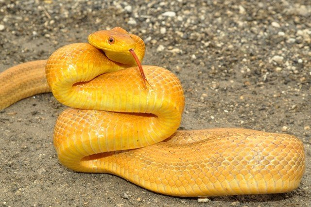 5 Common Types of Rat Snakes (And 5 Fun Facts You Didn't Know