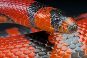 Red milk snake on black background.