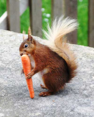 A red squirrel is eating carrot.