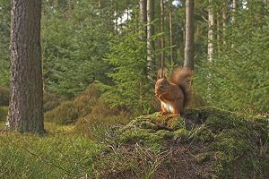 Red squirrel in forest.