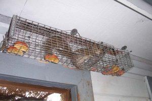 A squirrel is trapped in a house.