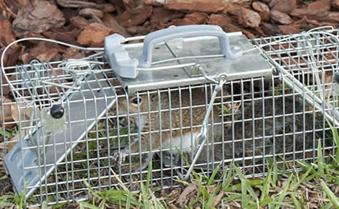 A squirrel in the trap.