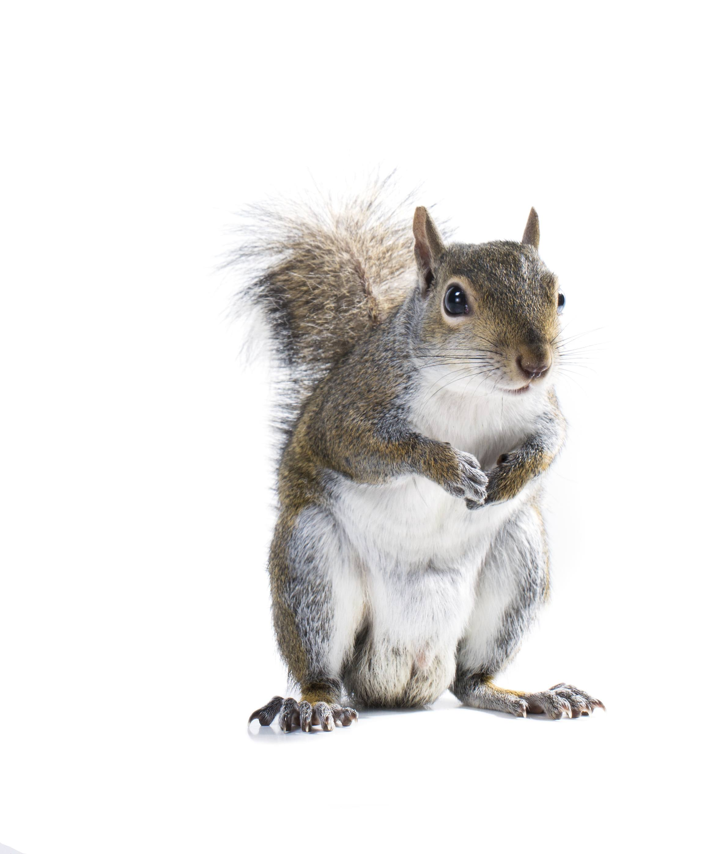 The American gray squirrel is holding legs to his chest.