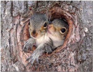Two squirrels in the tree hole.