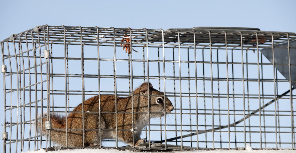 A little squirrel is caught in a live trap awaiting relocation.