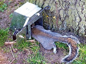 Effective Eradication Of Ground Squirrels 6 Trapping