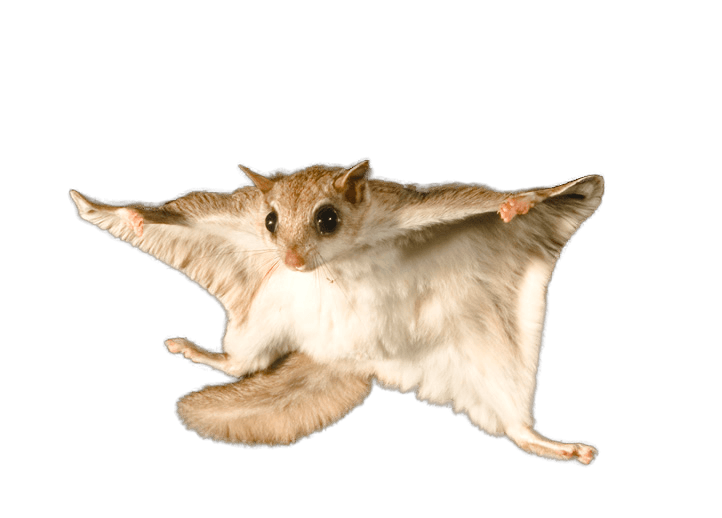Flying squirrel on the white.