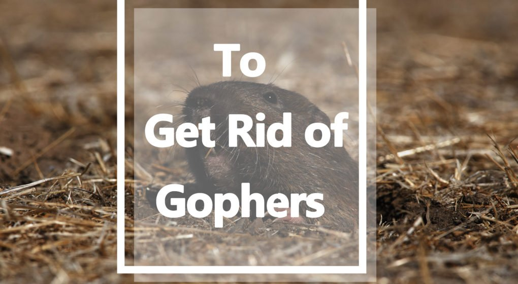 To Get Rid of Gophers