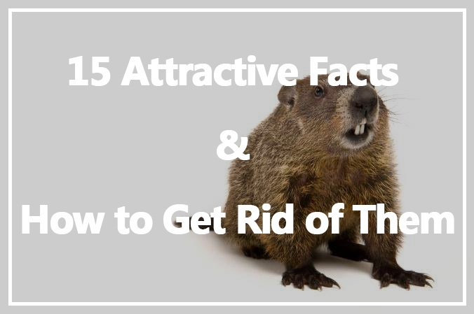 Get Rid of groundhogs