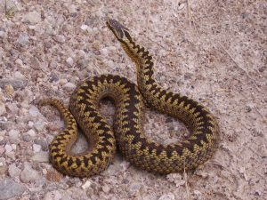 Adult female Adder