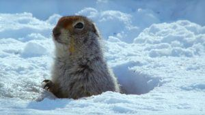 Arctic ground squirrel in ice hole.