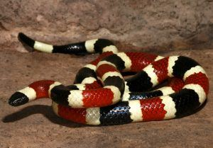 Picture of Arizona coral snake