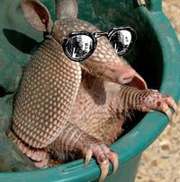 An armadillo with cool sunglasses