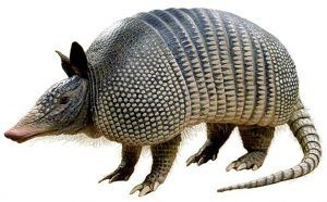 Armadillo on white background