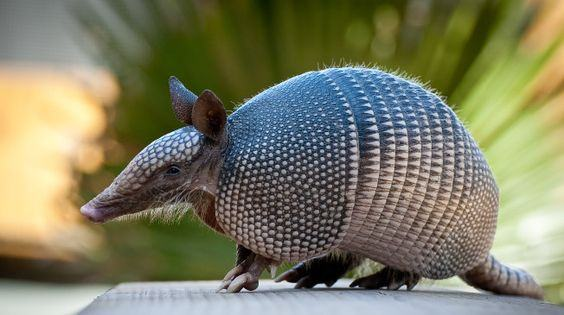 Photograph of armadillo