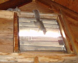 Two squirrels are climbing on the wall of attic