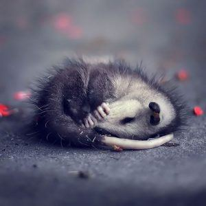 Baby possum sleeping on the ground
