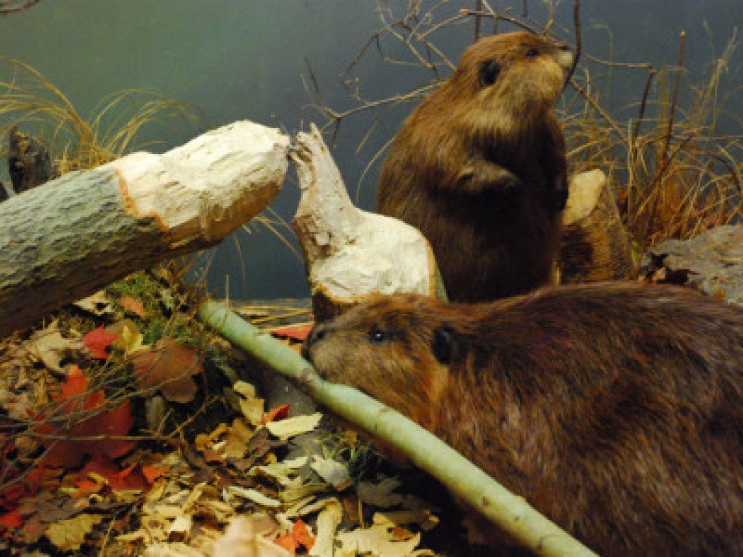 How to Catch Beavers How to Catch Beavers new pictures