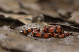 Bibron's Coral Snake lying on the ground
