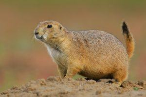 Black-tailed prairie dog walking on the field