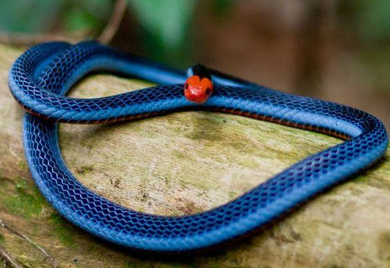 Blue Malayan Coral Snake lying on the tree