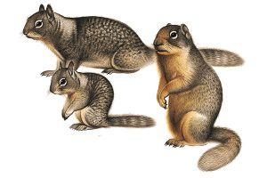 Three california ground squirrels on white background.