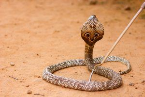 Cape cobra in desert