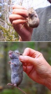 Two catched voles in human's hands.