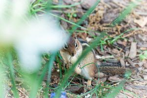 Chipmunk outside in the backyard