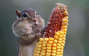 A chipmunk eating corn