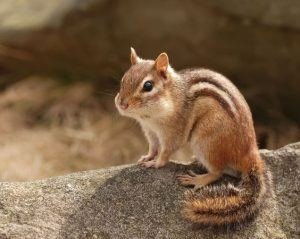 Cute chipmunk standing on a rock