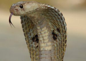 The India common cobra