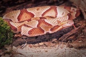 Copperhead snake resting in cave