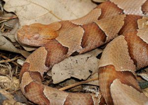 Copperhead on leaves