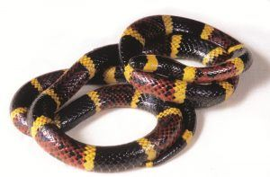Close up for a coral snake