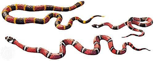 Colorful coral snakes