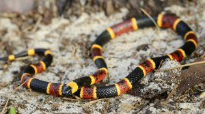 Red and yellow Coral snake