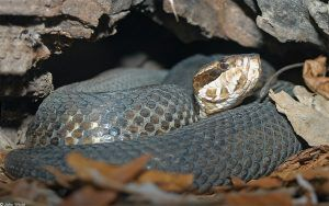 Eastern Cottonmouth in the cave