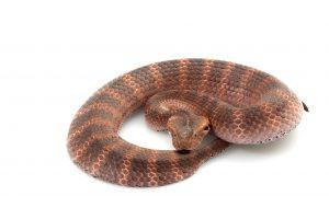 Death Adder on white background