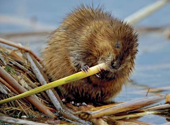Muskrat eating plant near water