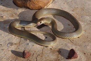 Picture of Eastern Brown Snake