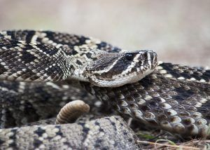 Picture of Eastern Diamondback on the ground